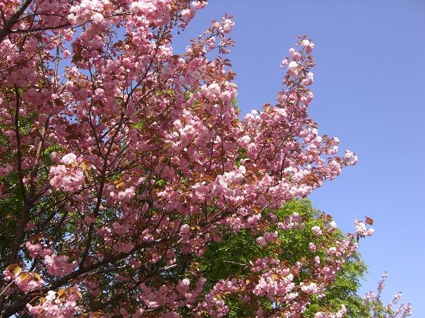 Where to see cherry blossoms in Sapporo?